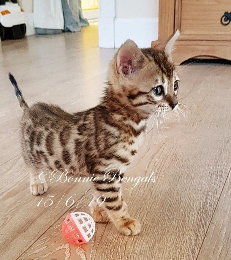 Bonnie Bengals | Bengal Kittens For Sale