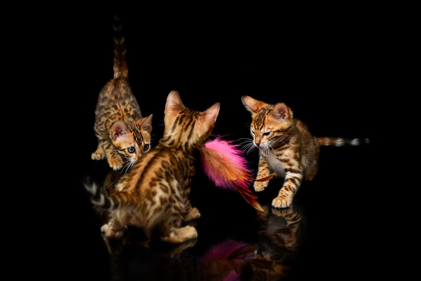 How much are Bengal kittens