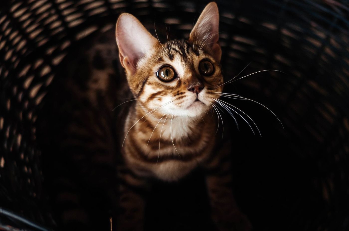 Bengal cat in a basket