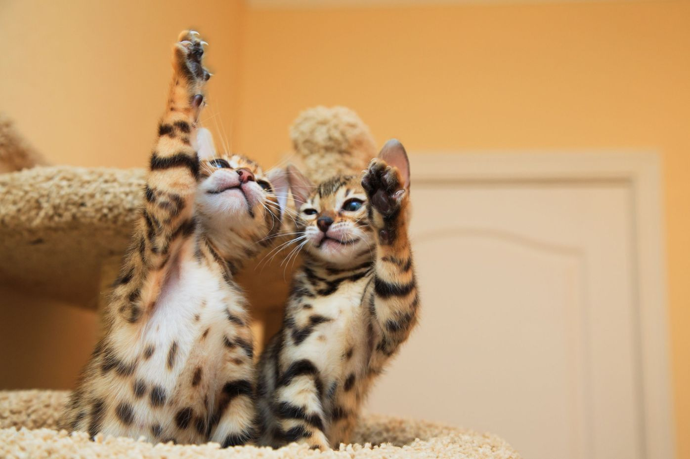 Should I Get Two Bengal kittens