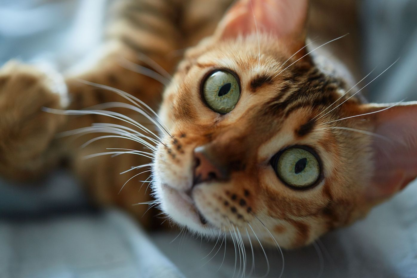 When do Bengal kittens eyes change color