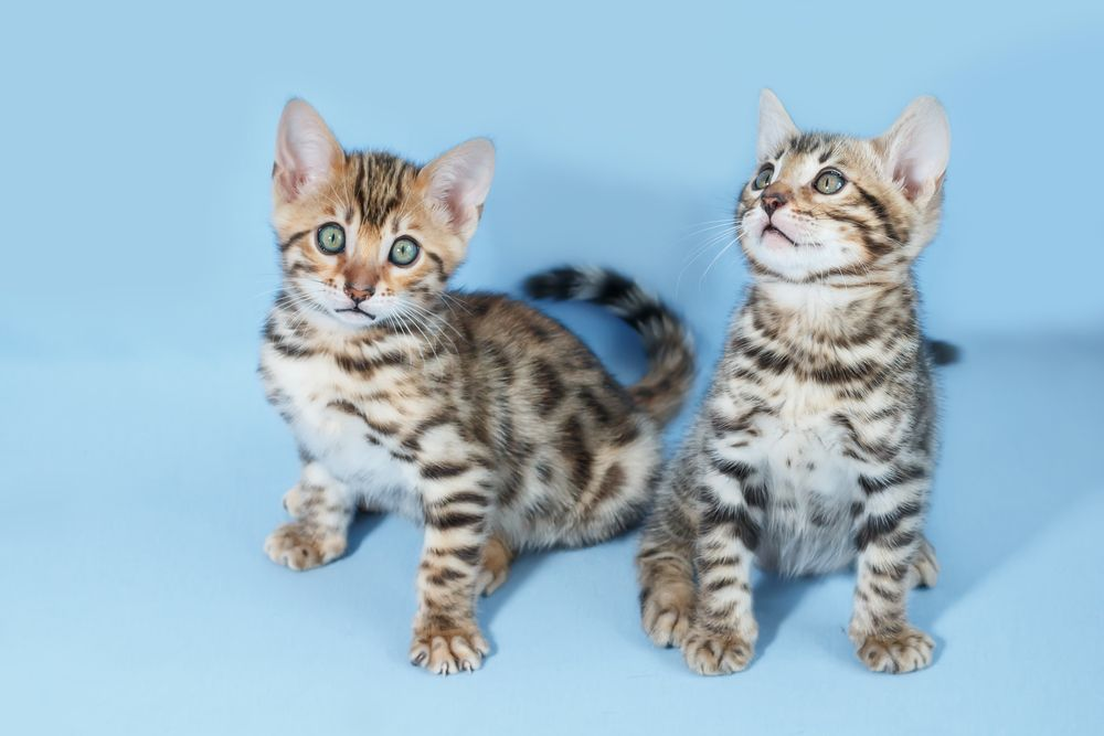 When do Bengal kittens lose their Fuzziness
