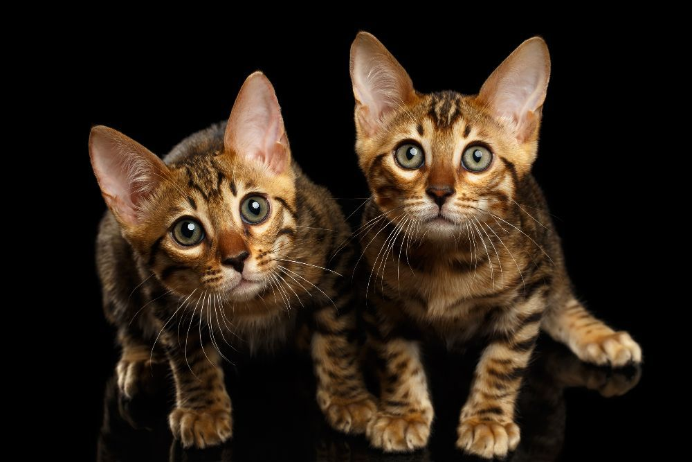 Is it better to buy a male or female Bengal kitten