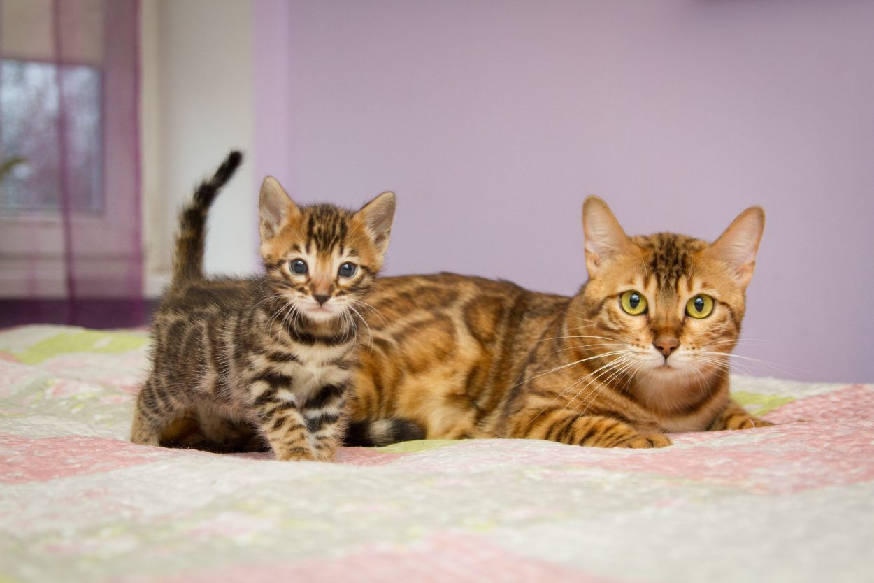 When can Bengal kittens leave their mother