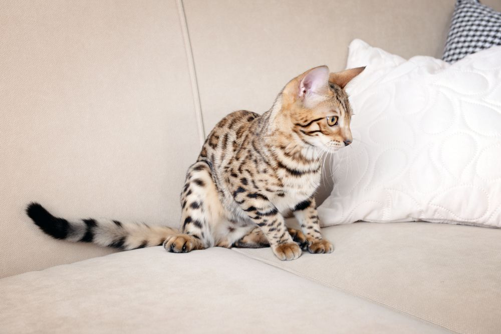 What do you need to collect your Bengal kitten